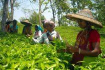 Deficient rain hits tea production in northeast India