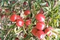 Himachal likely to produce 30 million boxes of apple