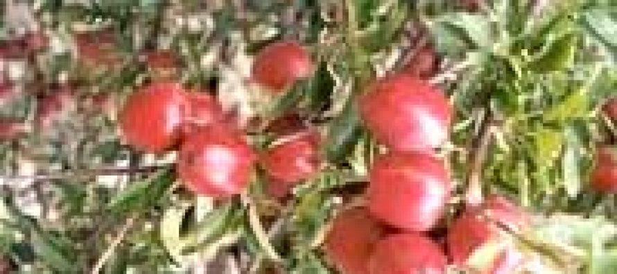 Himachal again heading for a lean apple harvest