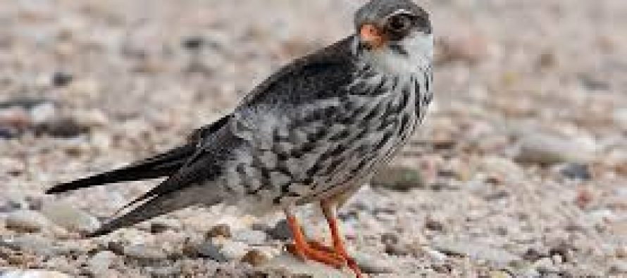 Nagaland to protect world's longest-distance migratory falcons