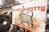 Jallikattu held in Madurai as part of Pongal festivities