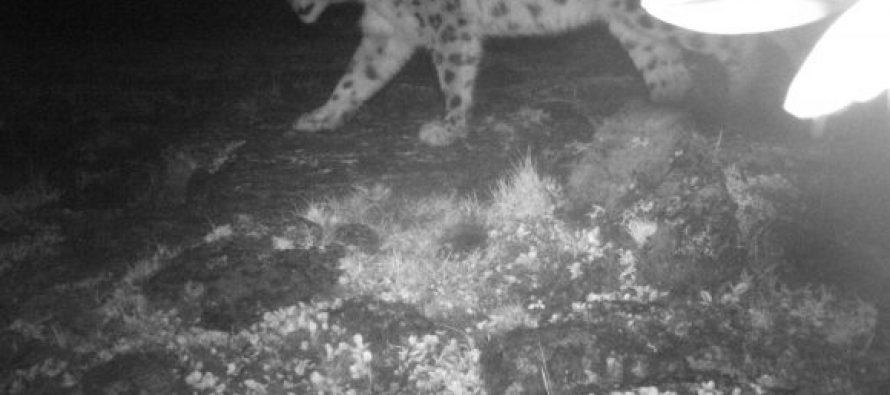 Snow leopard photographed in Arunachal Pradesh