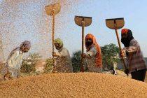 Punjab, Haryana procure over 250 lakh tonnes paddy