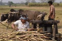 Sugarcane output per hectare rises in UP