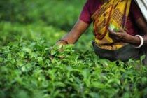 Russia to lift ban on tea imports from Sri Lanka