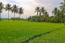UP likely to set record in paddy production