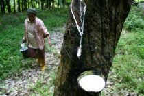 Rs 1,100 cr push for rubber plantation in northeast India