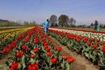 Sunshine greets visitors as Srinagar throws open Tulip Garden