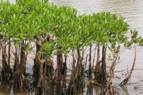 Mangroves can act as bio-shield in Kerala, as storm surge likely to increase